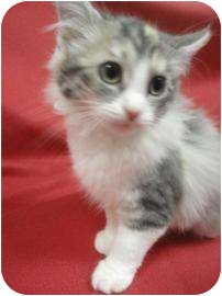 Domestic Mediumhair Kitten for adoption in Spruce Pine, North Carolina - Scarlett