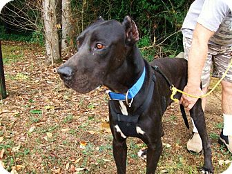 Great Dane Dog for adoption in Baden, Pennsylvania - Tag