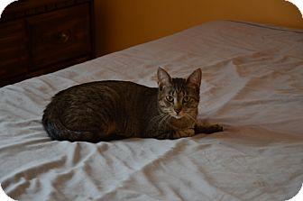 Domestic Shorthair Kitten for adoption in Rochester Hills, Michigan - Princess