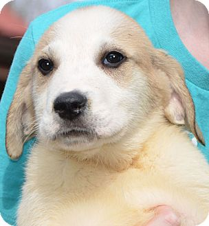 Great Pyrenees Mix Puppy for adoption in Spring Valley, New York - Stormy