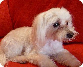 Maltese Dog for adoption in Vancouver, Washington - Sam