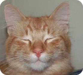 Domestic Mediumhair Cat for adoption in Muskegon, Michigan - Plato