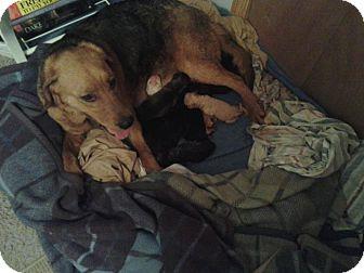 Basset Hound/German Shepherd Dog Mix Dog for adoption in Minneapolis, Minnesota - Lola
