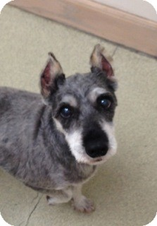 Terrier (Unknown Type, Small) Mix Dog for adoption in Palatine, Illinois - Roxy