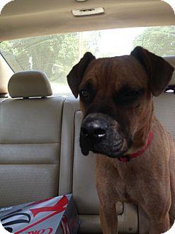Basset Hound/Plott Hound Mix Dog for adoption in North Brunswick, New Jersey - Rusty