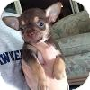Chihuahua Puppy for adoption in Marlton, New Jersey - Baby Bear