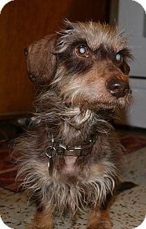 Dachshund Dog for adoption in Decatur, Georgia - Mckinney