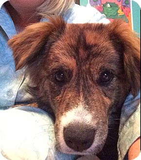 Collie Mix Dog for adoption in Hainesville, Illinois - Jess