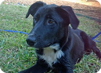 Border Collie/Australian Shepherd Mix Puppy for adoption in Austin, Texas - Lucas