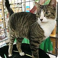 Turkish Van Cat for adoption in Cerritos, California - Rosie