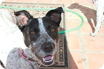 Australian Cattle Dog Mix Puppy for adoption in Phoenix, Arizona - Cookie