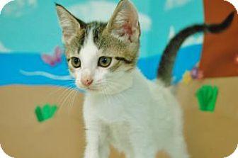 Domestic Shorthair Kitten for adoption in Bradenton, Florida - Tybalt
