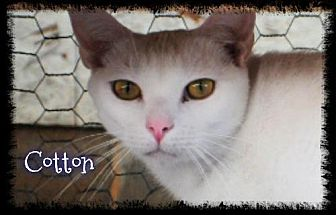 Domestic Shorthair Cat for adoption in Crandall, Georgia - Cotton