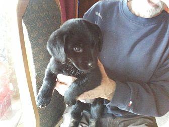 Dachshund/Labrador Retriever Mix Puppy for adoption in Oakland, Arkansas - Squeeker