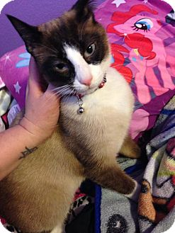 Siamese Cat for adoption in Mansfield, Texas - Ozzy