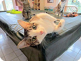 Abyssinian Cat for adoption in Arlington, Virginia - Fiesta (& Carla)