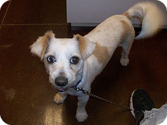 Lhasa Apso/Terrier (Unknown Type, Small) Mix Dog for adoption in Hurricane, Utah - Mr. Scruffy