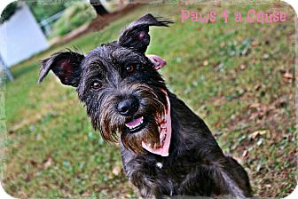 Schnauzer (Miniature) Mix Dog for adoption in Paducah, Kentucky - Fritzy
