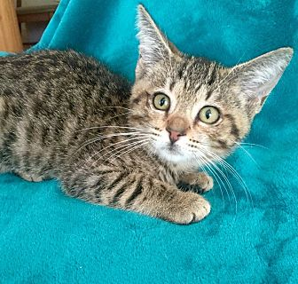 Bengal Kitten for adoption in Sunny Isles Beach, Florida - Sophia