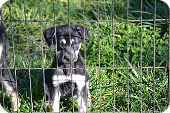 German Shepherd Dog Mix Puppy for adoption in Wilminton, Delaware - Elsa