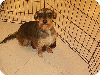 Schnauzer (Standard) Mix Dog for adoption in DeRidder, Louisiana - Poppy