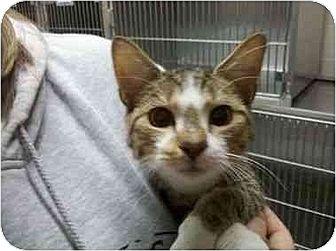 Domestic Mediumhair Cat for adoption in Sandersville, Georgia - Ryder