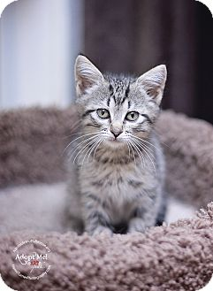 Domestic Shorthair Kitten for adoption in North Vancouver, British Columbia - PEANUT