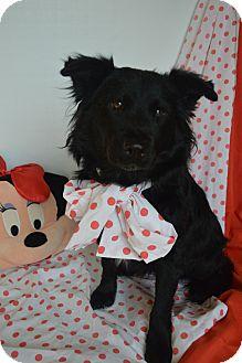 Border Collie/Chow Chow Mix Dog for adoption in Aurora, Colorado - Twinkie