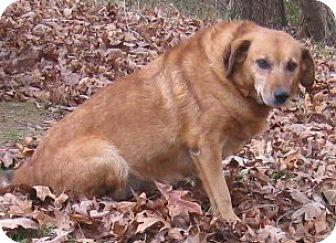 Golden Retriever/Labrador Retriever Mix Dog for adoption in Hillsboro, Ohio - Lily