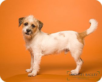 Jack Russell Terrier Mix Dog for adoption in Norwalk, Connecticut - Skipper - MEET ME