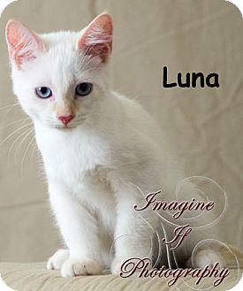 Domestic Shorthair Kitten for adoption in Oklahoma City, Oklahoma - Luna