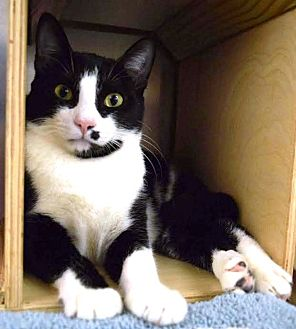 Domestic Shorthair Cat for adoption in Houston, Texas - Eric