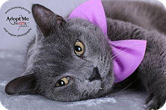 Russian Blue Cat for adoption in Cincinnati, Ohio - Spruce