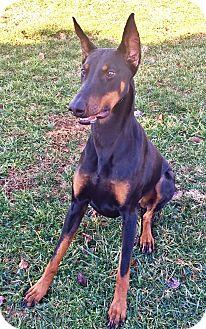 Doberman Pinscher Dog for adoption in Arlington, Virginia - Yumi