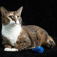 Domestic Shorthair Cat for adoption in Gainesville, Florida - Scarlett