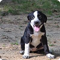 Adopt A Pet :: RHETA - South Dennis, MA