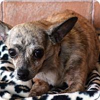 Adopt A Pet :: Bitty - Bridgeton, MO