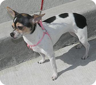 Chihuahua Mix Dog for adoption in Umatilla, Florida - Bella