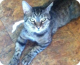 Domestic Shorthair Cat for adoption in Oviedo, Florida - Beebo
