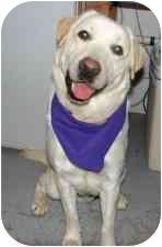Labrador Retriever Dog for adoption in Provo, Utah - Stockton