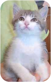 Domestic Shorthair Kitten for adoption in Walker, Michigan - Indy