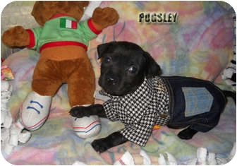 Labrador Retriever Mix Puppy for adoption in Weeki Wachee, Florida - Pugsley