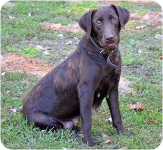 Labrador Retriever Dog for adoption in Rochester, New Hampshire - Coco