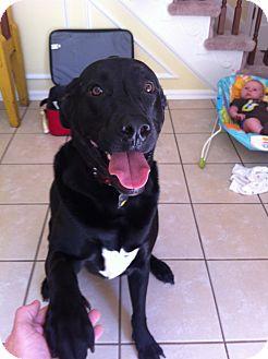 Labrador Retriever Mix Dog for adoption in Manassas, Virginia - Desmo