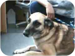 Belgian Shepherd/Belgian Malinois Mix Dog for adoption in Hawthorne, California - Chloe