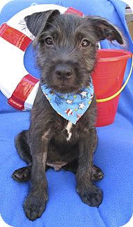 Labrador Retriever/Terrier (Unknown Type, Medium) Mix Puppy for adoption in Irvine, California - Sand
