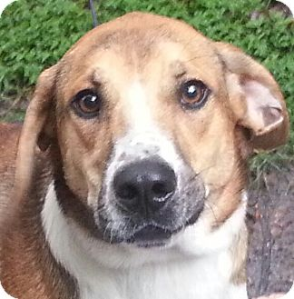 Basset Hound Mix Dog for adoption in Orlando, Florida - Drogo