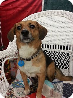 Beagle Mix Dog for adoption in Linton, Indiana - Biscuit