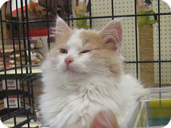 Domestic Longhair Kitten for adoption in Rochester, Minnesota - Frat Boy
