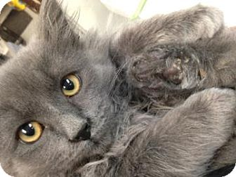 Domestic Longhair Cat for adoption in Adrian, Michigan - Link